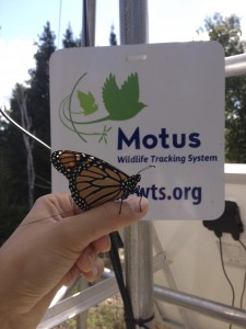 Monarch Butterfly With Motus Transmitter By Grace Pitman
